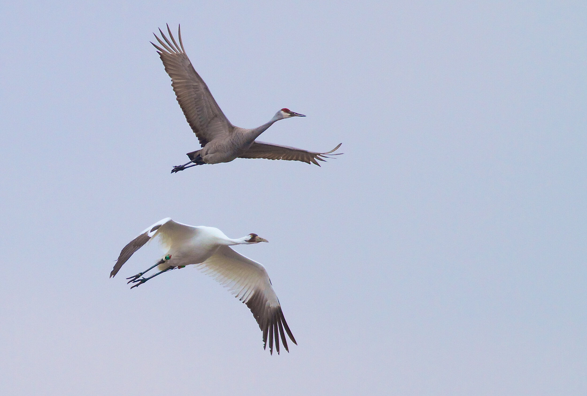 A sandhill and whooping crane fly overhead. Photo by Arlene Koziol, taken in 2014
