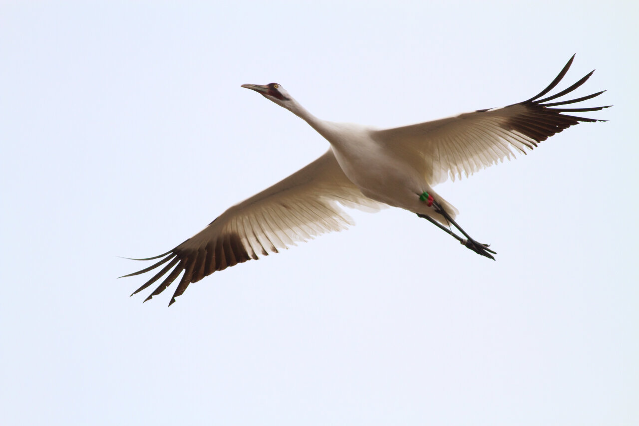 A whooping crane soars overhead. Photo by Arlene Koziol