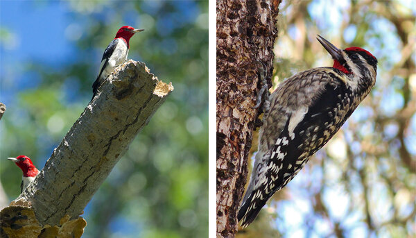 On the left, two red-headed woodpeckers look out from a dead tree branch, their red heads striking in the sunlight. Photo by Arlene Koziol. Right, a yellow-bellied sapsucker perches vertically on a tree, ready to drill. Photo by Tom Benson