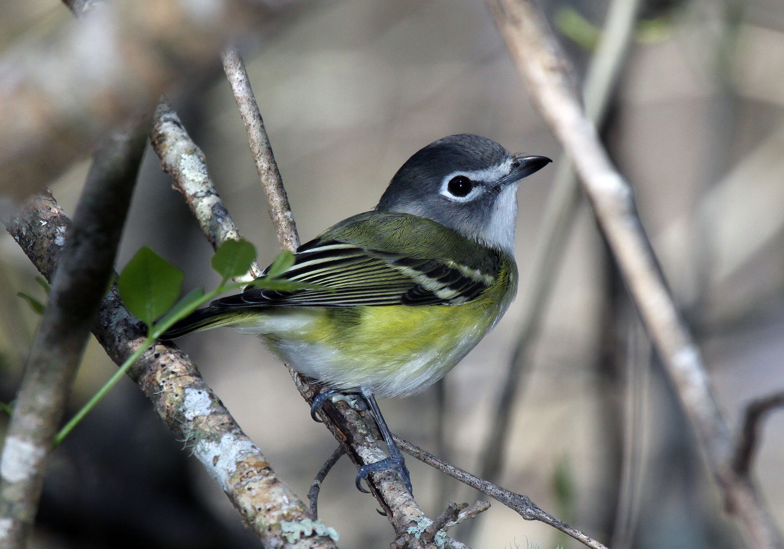 Blue-headed vireo, photo by Melanie
