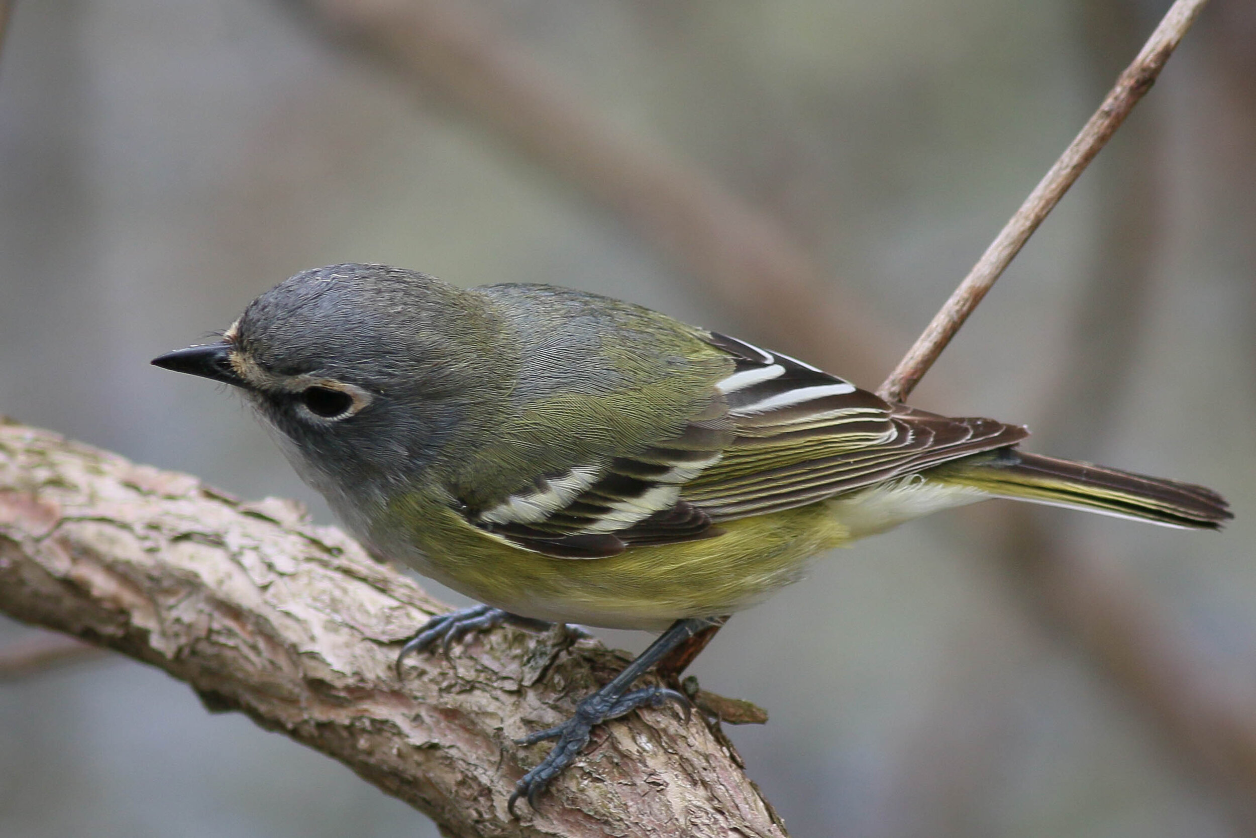 Blue-headed vireo, photo by Skip Russell