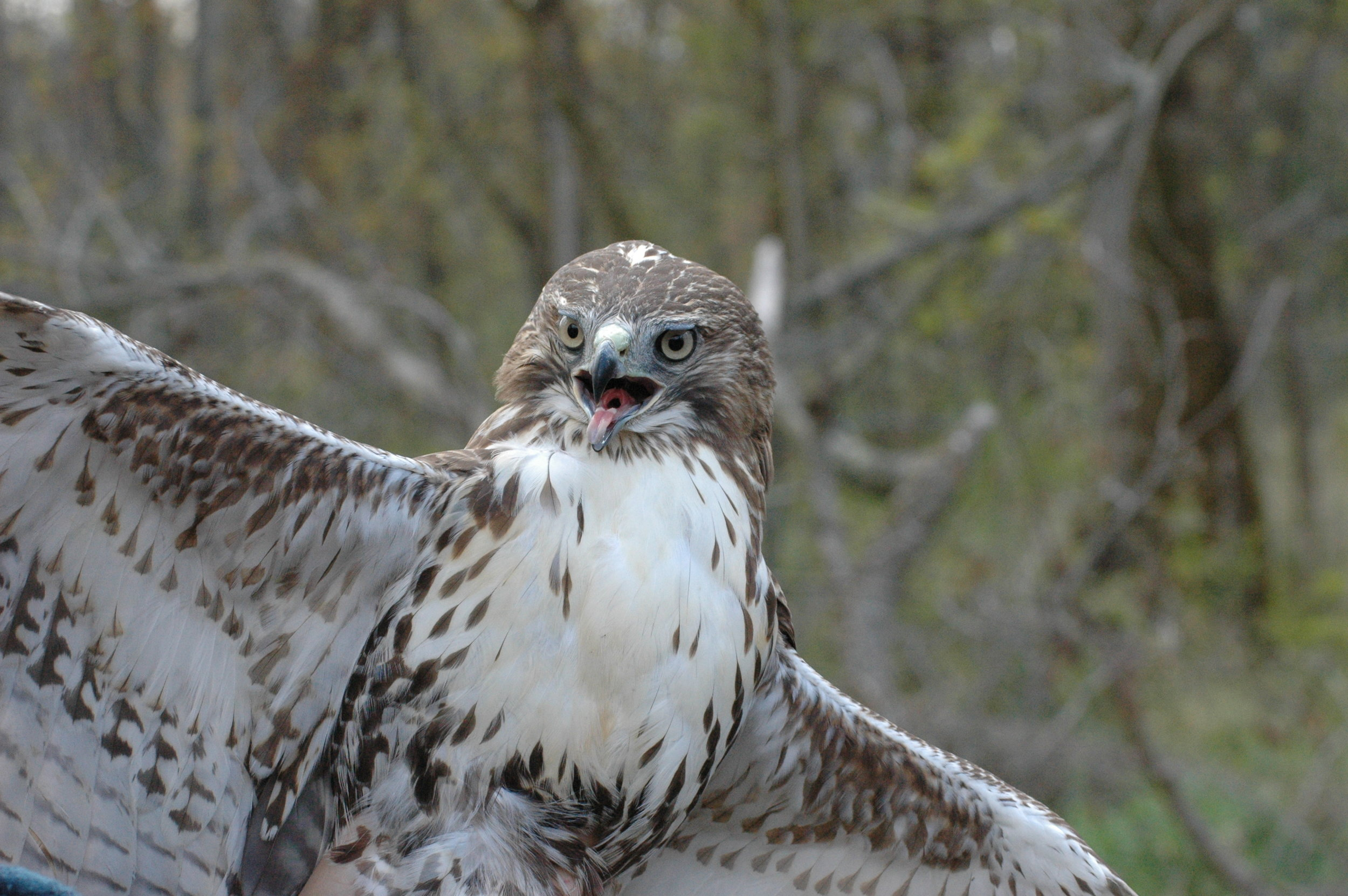 Red-tailed hawk, photo by Tim Eisele