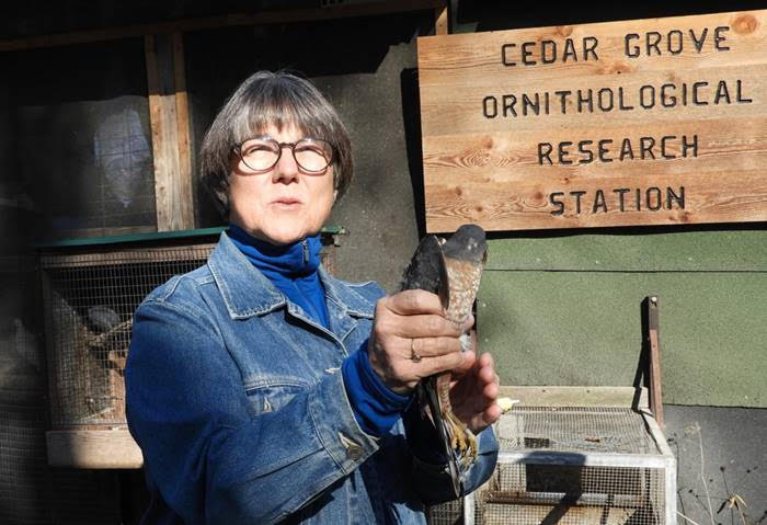 Mary Manering ready to release a sharp-shinned hawk. Photo by Dory Owen