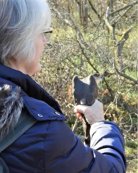 Sharon Weisenberger holding a sharp-shinned hawk. Photo by Dory Owen