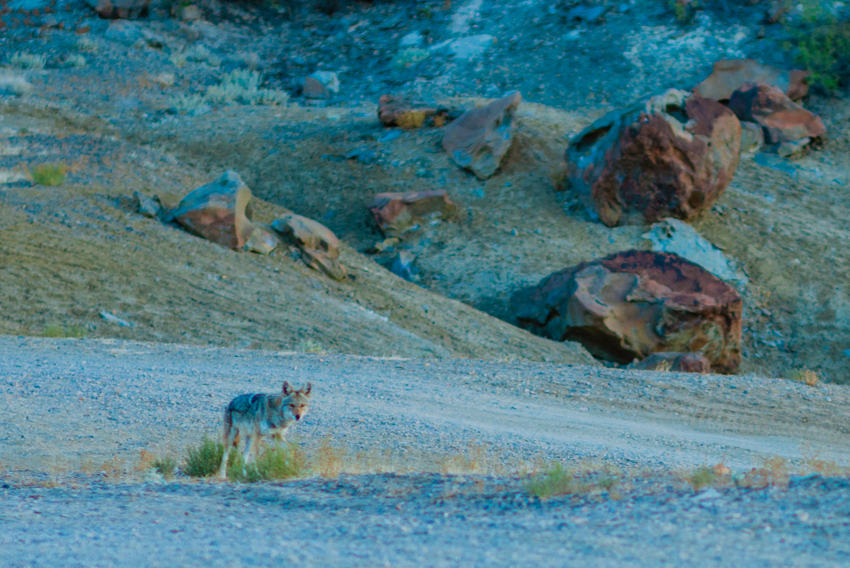 The Coyote we saw before we left camp.