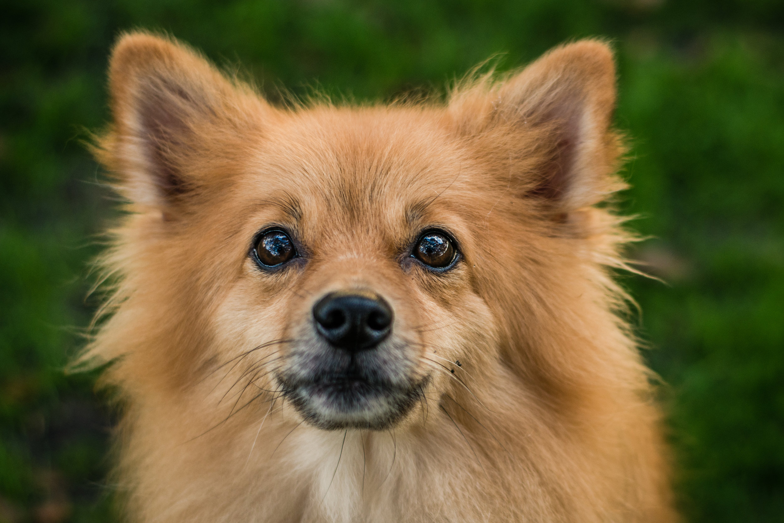 "Peluche - Peluche, pronounced Pay-loo-chay, means ""teddy bear"" in Spanish. Like his namesake, this Pomeranian loves to cuddle and also enjoys treats, playing fetch and going on long walks with his moms."