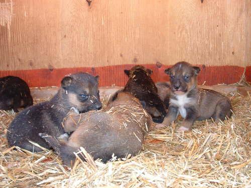 Puppies — The Wolf's Den Kennel