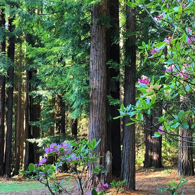 Azalea blooms in the redwoods. We'll miss you, Mendocino! #northerncaliforniacoast #mendocino #californiaredwoods