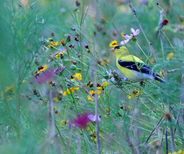 RJL_8180_edited-1-L Birds-Goldfinch-1.jpg
