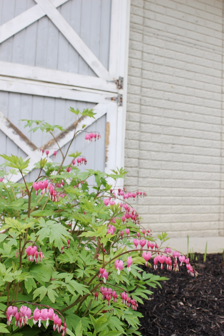 The bleeding heart plant is in full bloom right now.