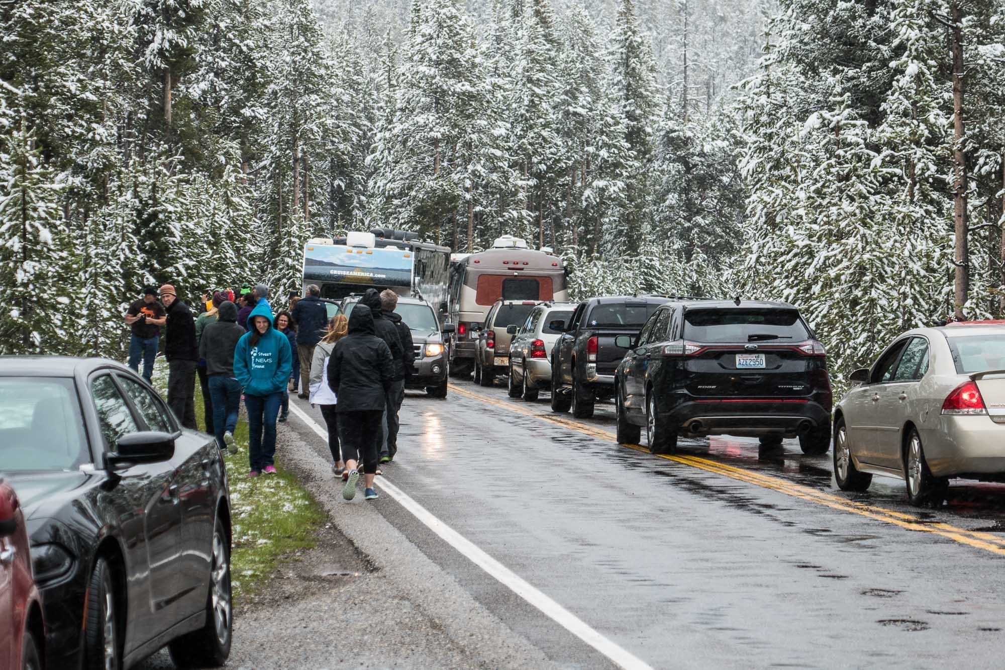 Bears in trees cause big traffic jams!