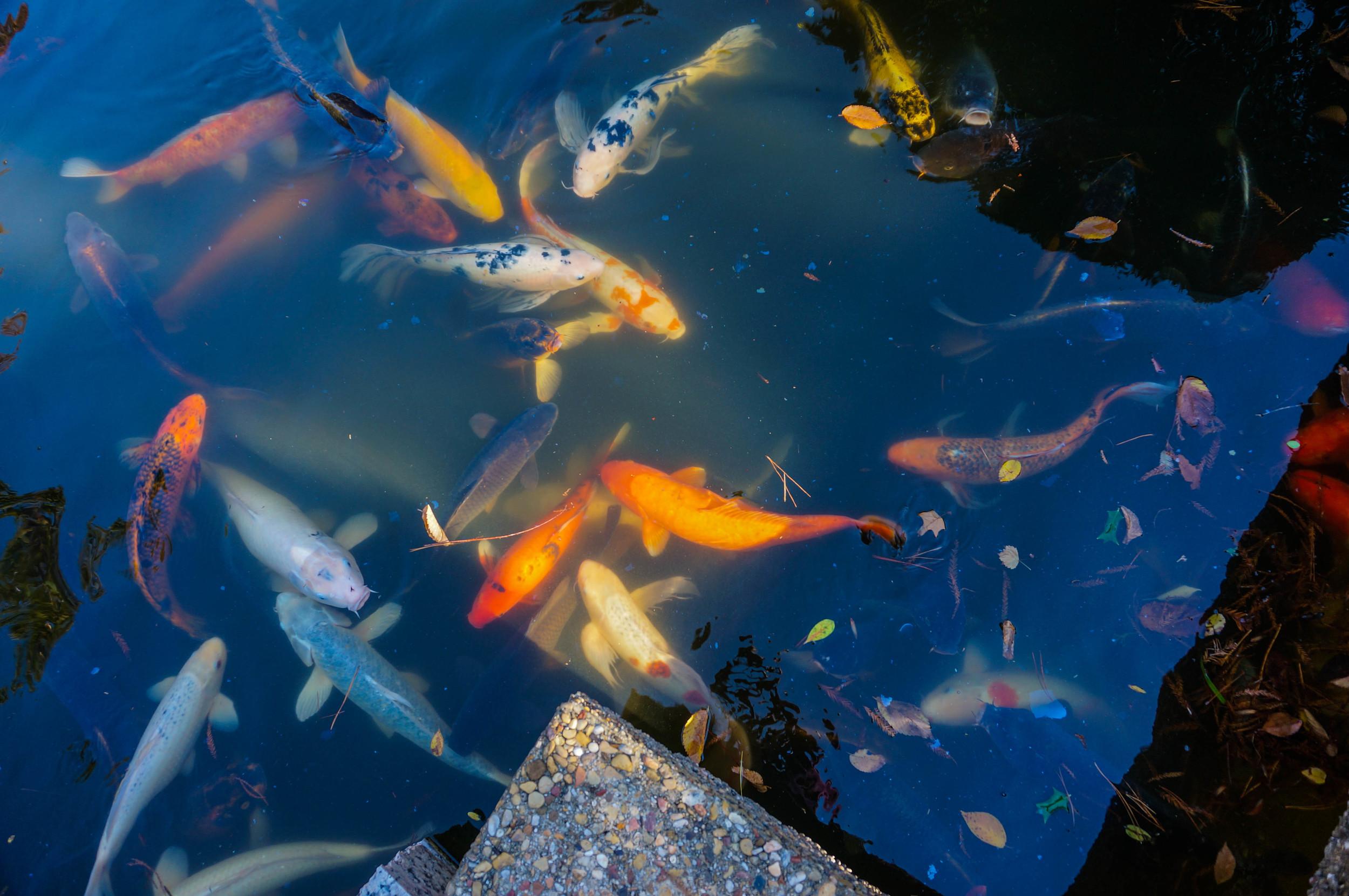 Koi Fish waiting for food