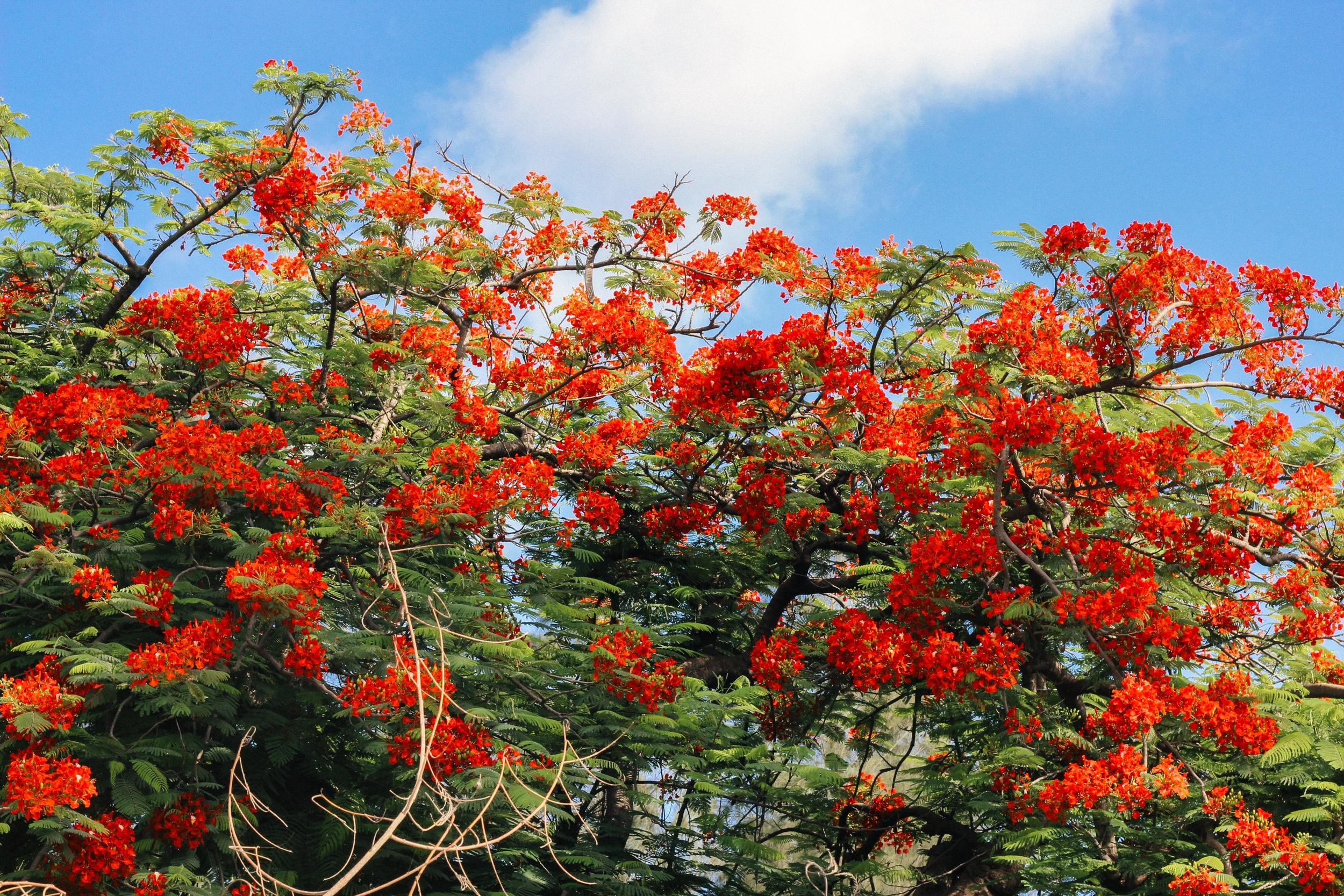 Flamboyant tree, Port-au-Prince. Katharine Oswald.