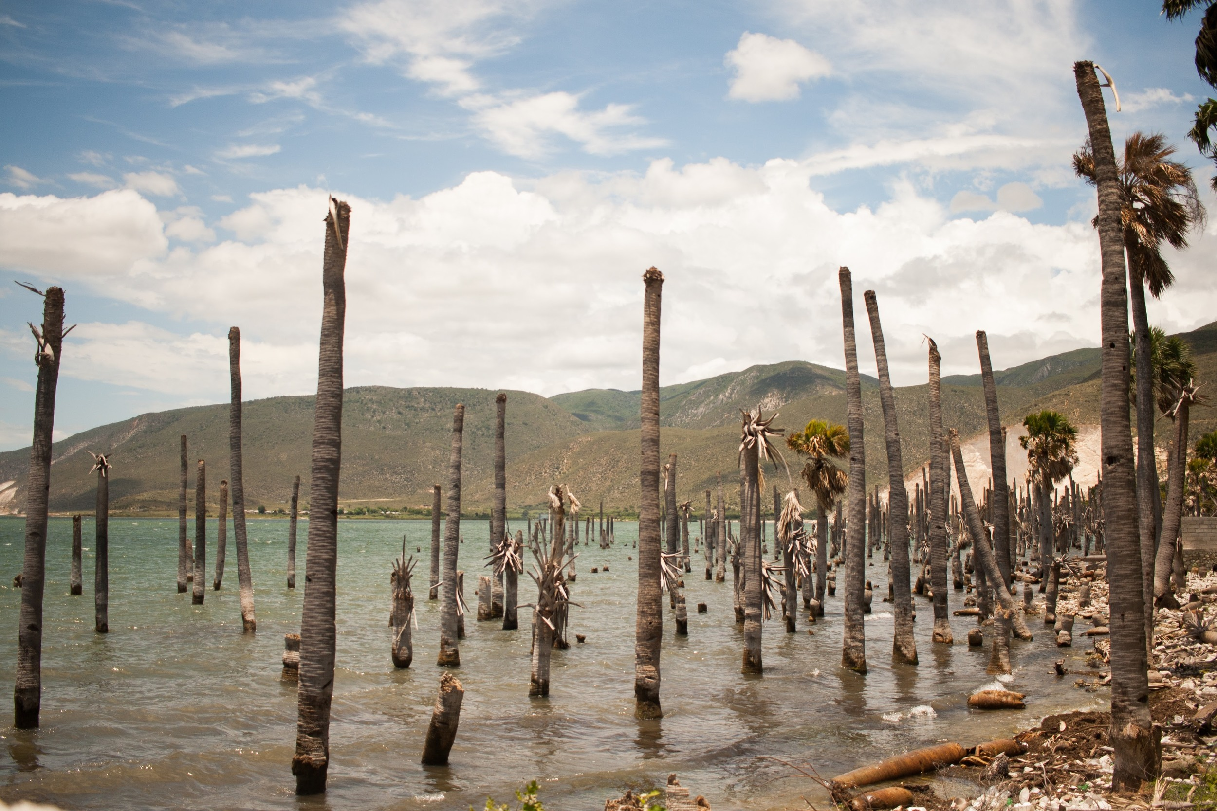 Stripped palms on Lake Peligre, in the border area of Malpasse. Anna Vogt.