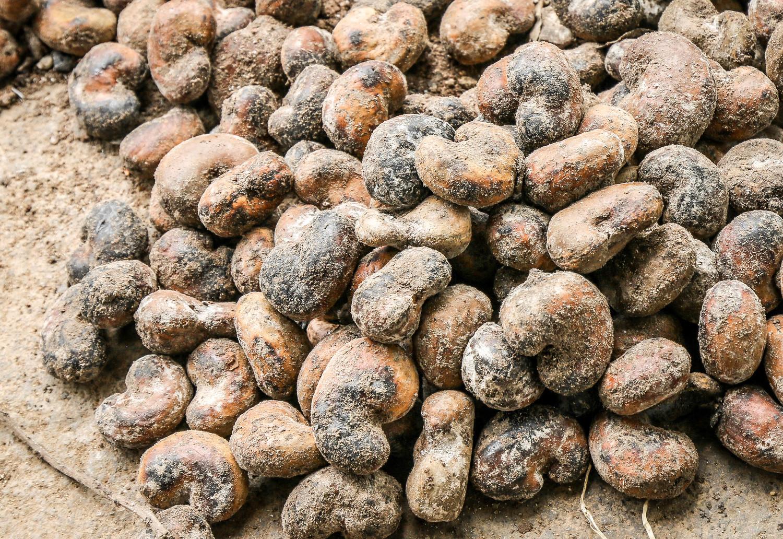 Raw, unprocessed cashew nuts -- Mombin Crochu, Haiti