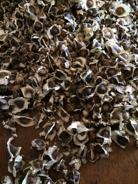 Moringa Seeds. Photo/Laura Lerch Horst