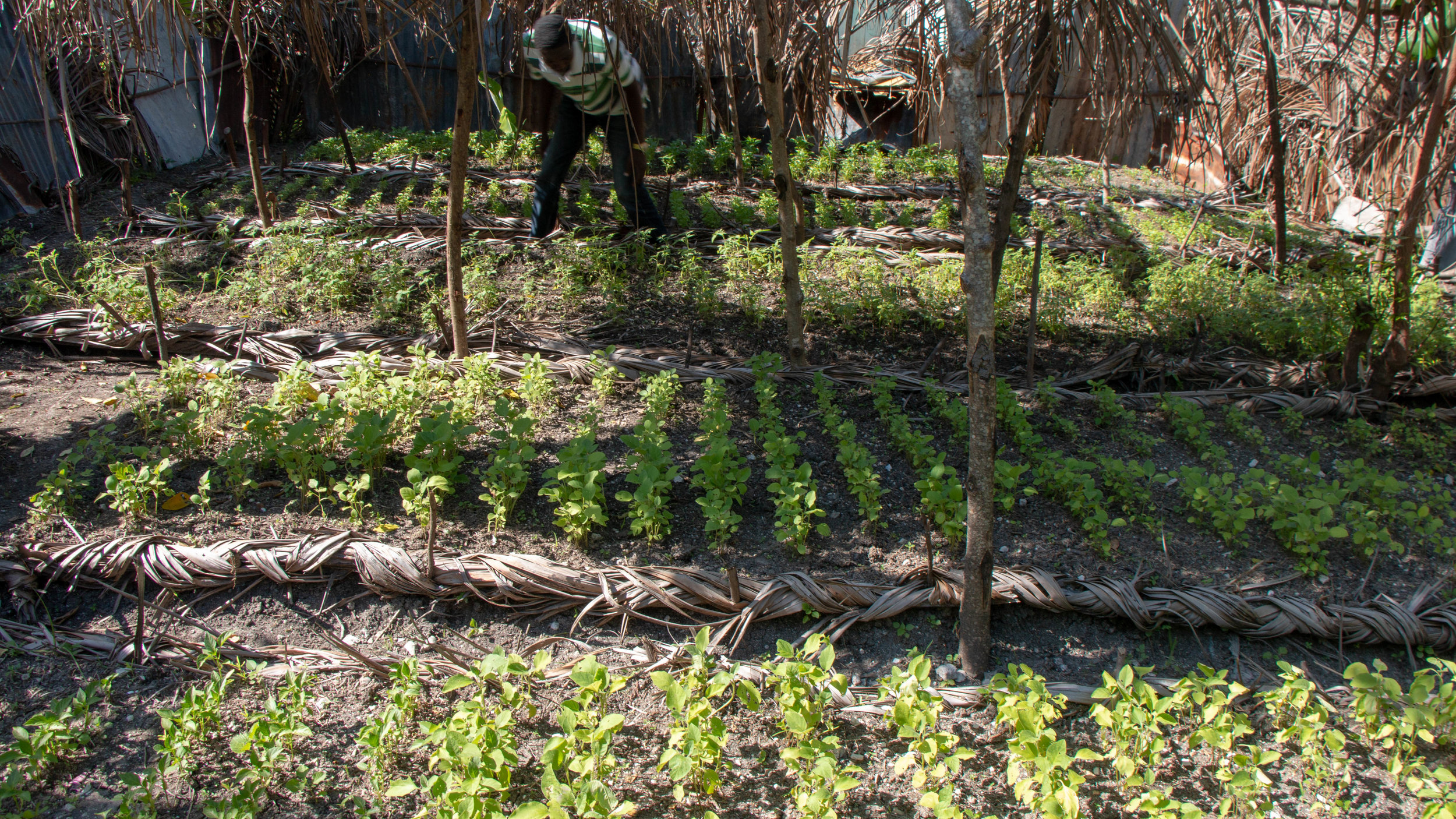 Pierre Makersom Jocelyn tends a vegetable nursery started as part of an MCC-supported project to help families recover losses after Hurricane Matthew struck St-Jean-du-Sud, and other parts of southern Haiti, in late September 2016. The devastation caused by the hurricane meant that many families saw their livelihoods destroyed.
