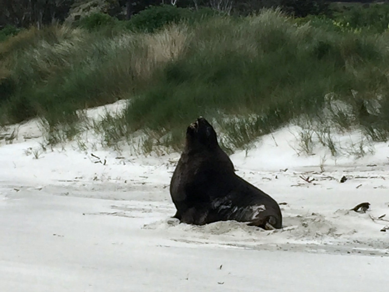 Sea Lion - On a nearby beach