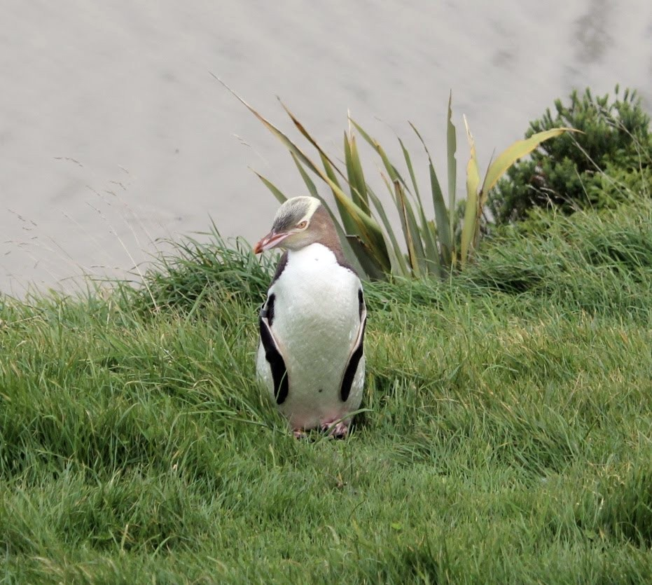 Yellow-eyed Penguin (Hoiho) - Ten minutes away