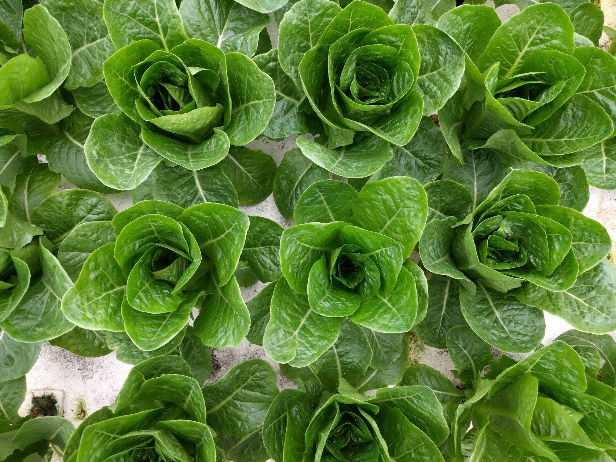 Lettuce from Lettuce Heads Farm (Wellington, OH)