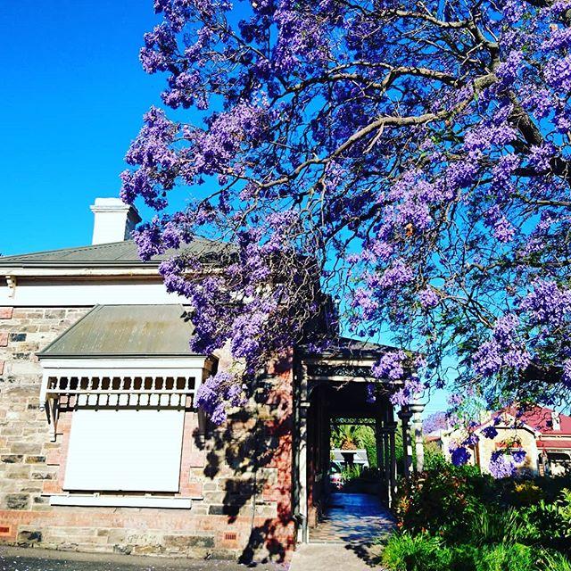 Chloe's jacaranda in full bloom  #Adelaide #adelaidehills #southaustralianmade #southaustralia #eatlocalsa #eatlocal #finedining #Sommelier #winecellar #winelist #wine #vintage #summer #garden #Instagram #instago #instawine #instagood #glamadelaide #indaily #gourmettravellerwine #thesource #gourmettraveller #advertiser