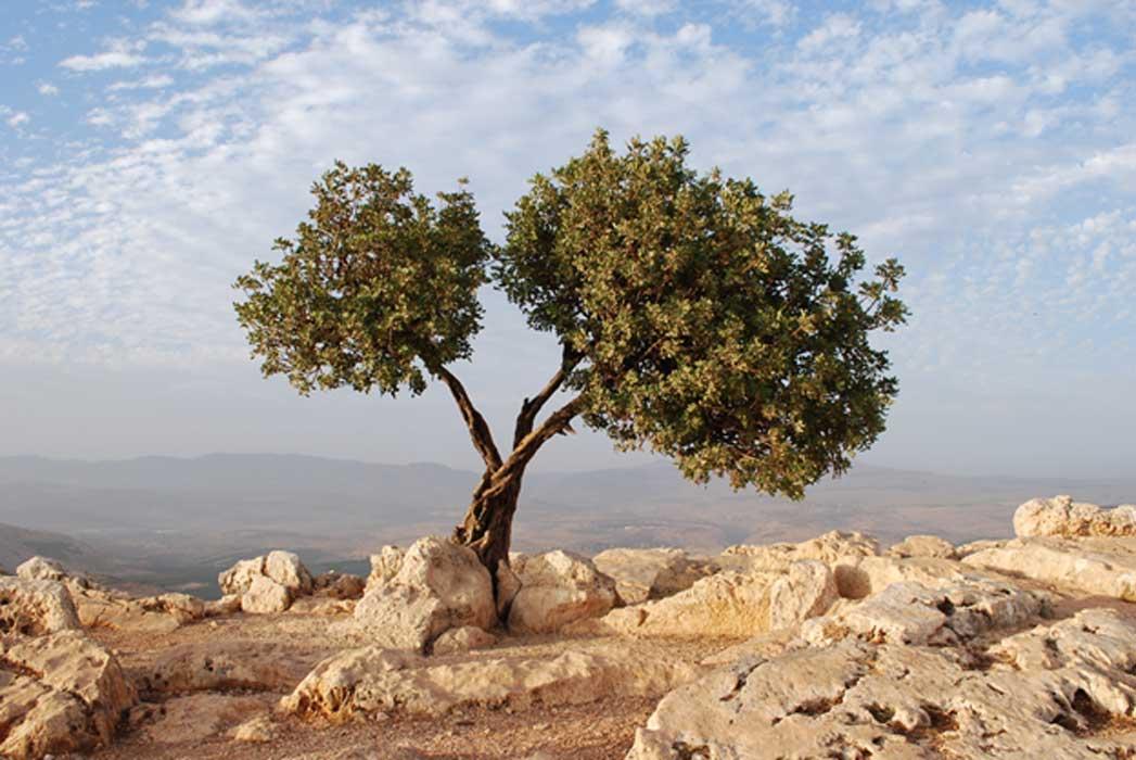 011517_olive Tree.jpg