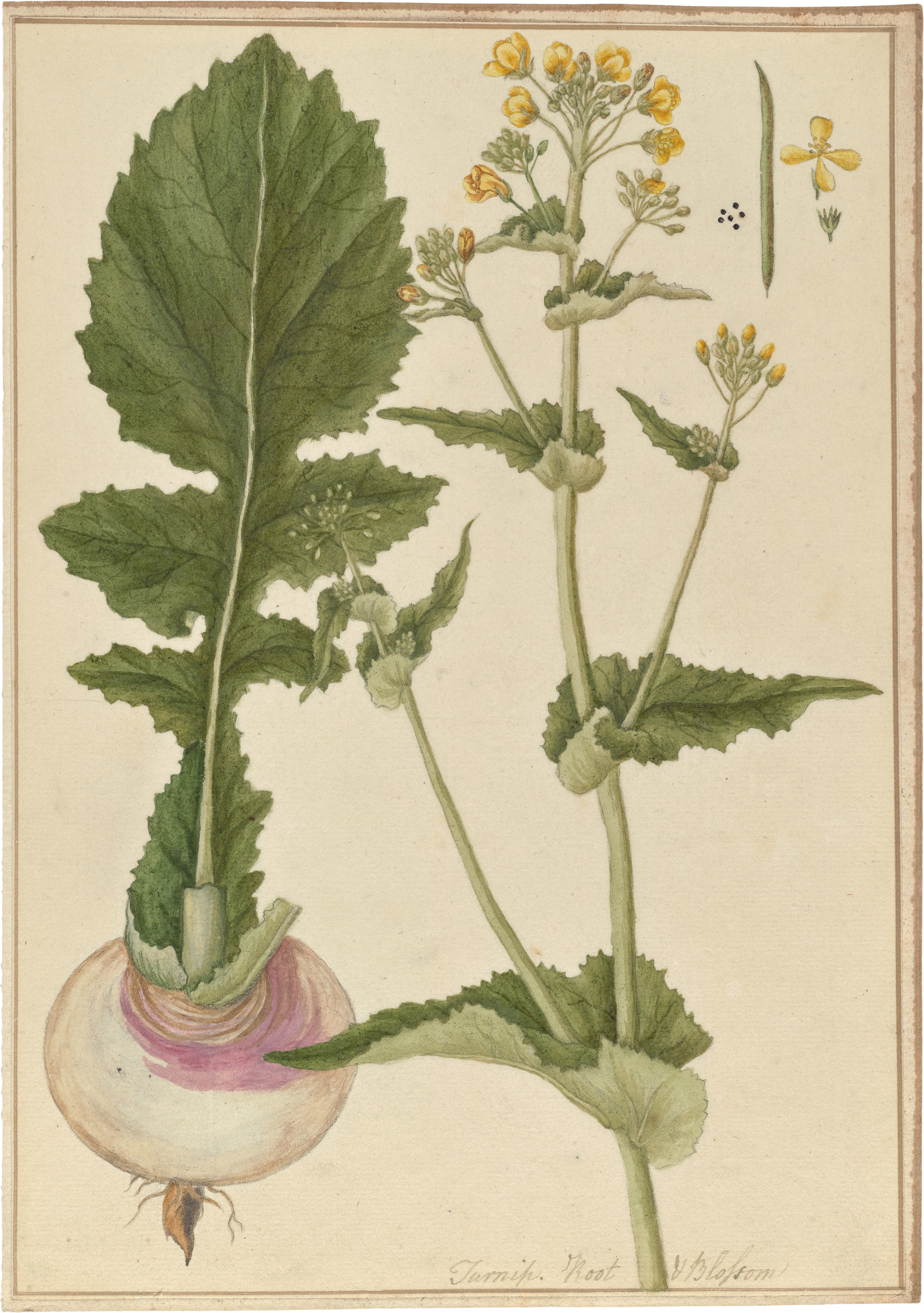 Brassica_rapa_(watercolor).jpg