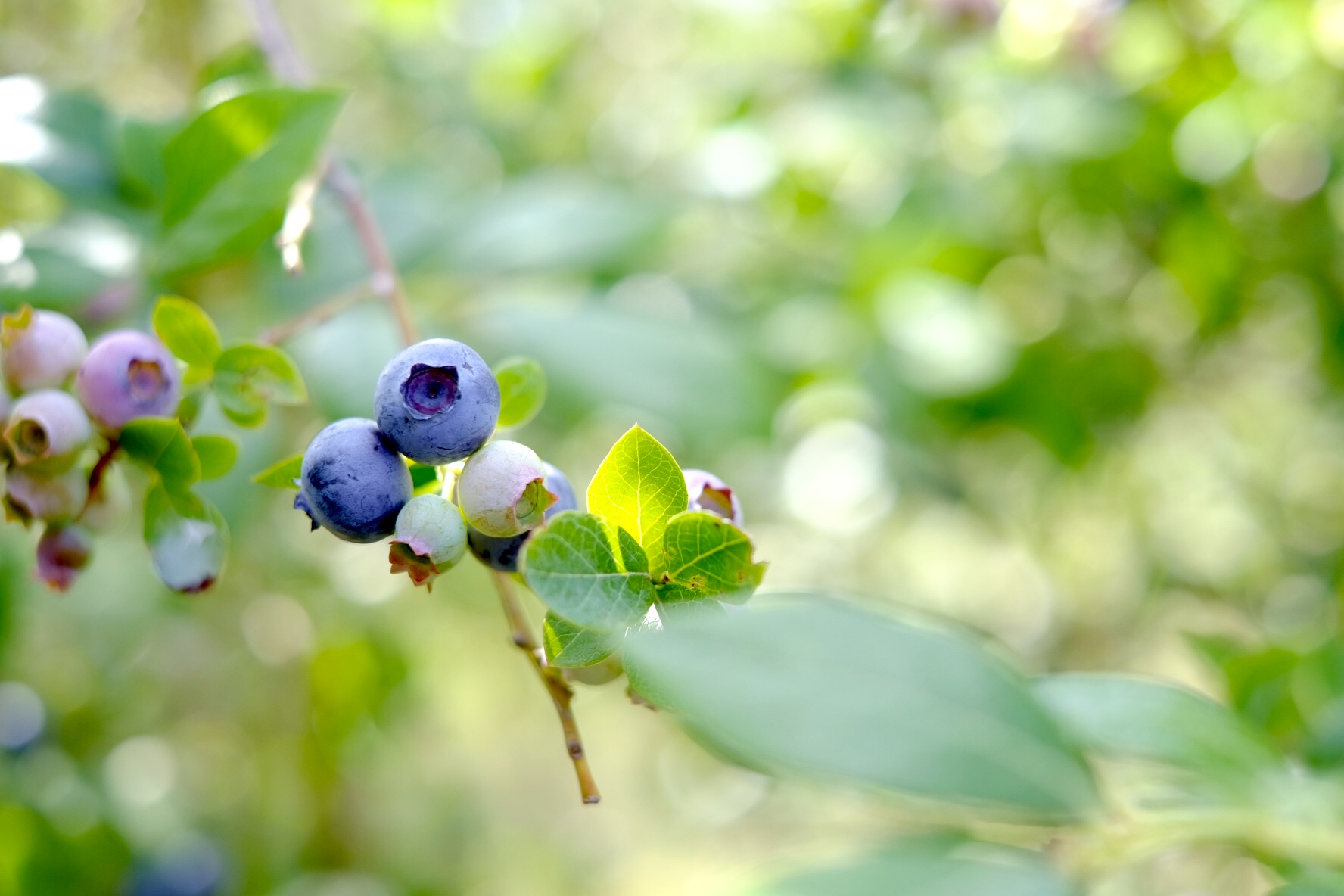 The blueberries were so yummy it was hard not to eat them as you picked.
