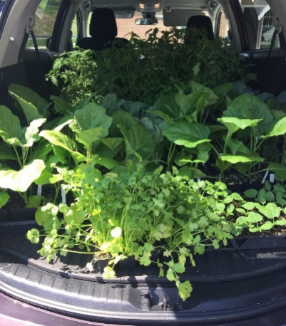 A trunkful of transplants from Seed to Supper (photo courtesy of Magnolia Ariza-Nieto)