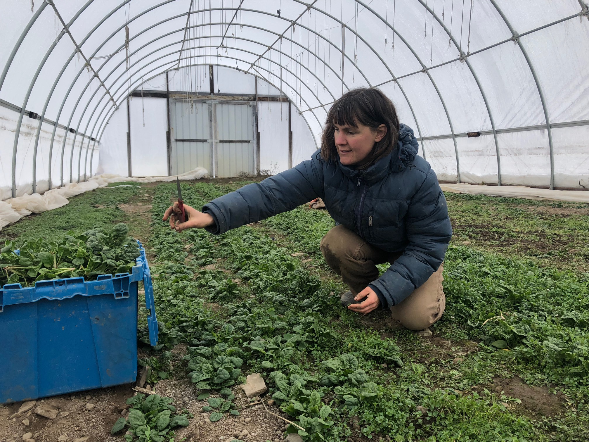 Lucy Garrison, one of the owners of Stick and Stone Farm, harvests spinach in one of the high tunnels on her farm. Lucy said she tries to tailor the food that she grows to what consumers communicate that they want to eat.