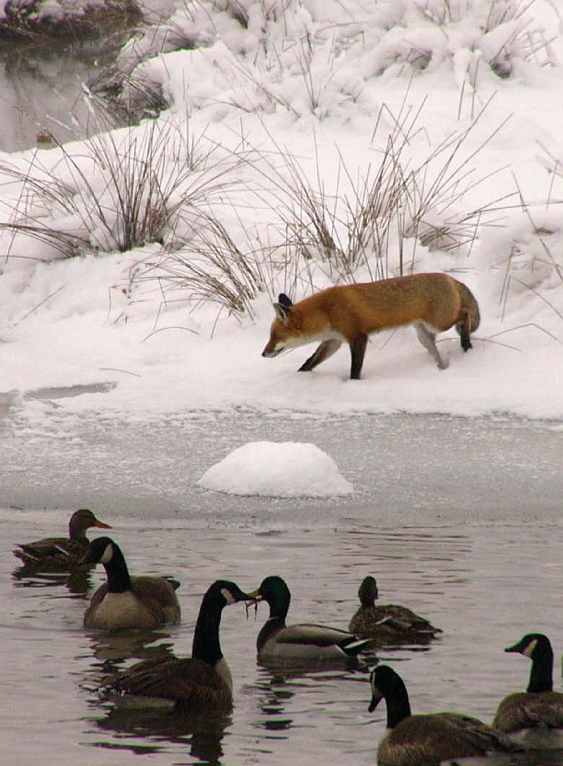 Red fox and Canada geese at the wetland mitigation site WSSI designed for Broadlands - Loudoun County, VA