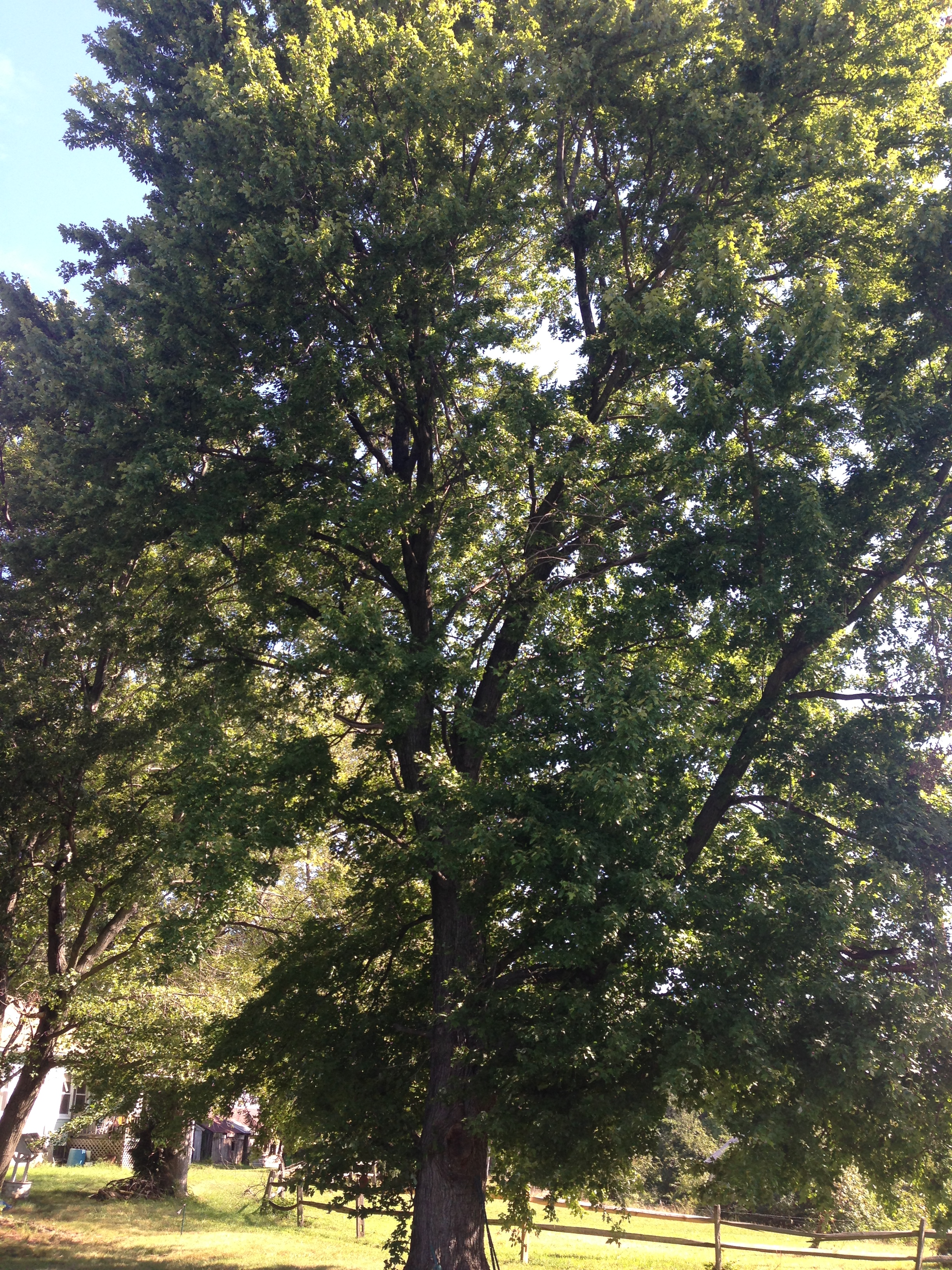Specimen tree recorded for an NRI in Prince George's County.
