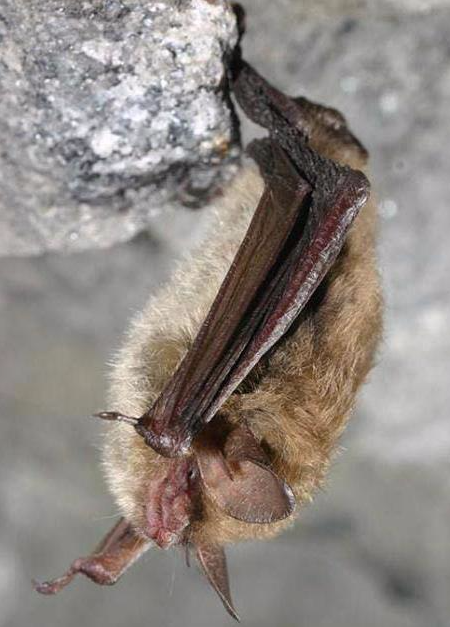 Hibernating northern long-eared bat (photo courtesy of Al Hicks, New York DEC)