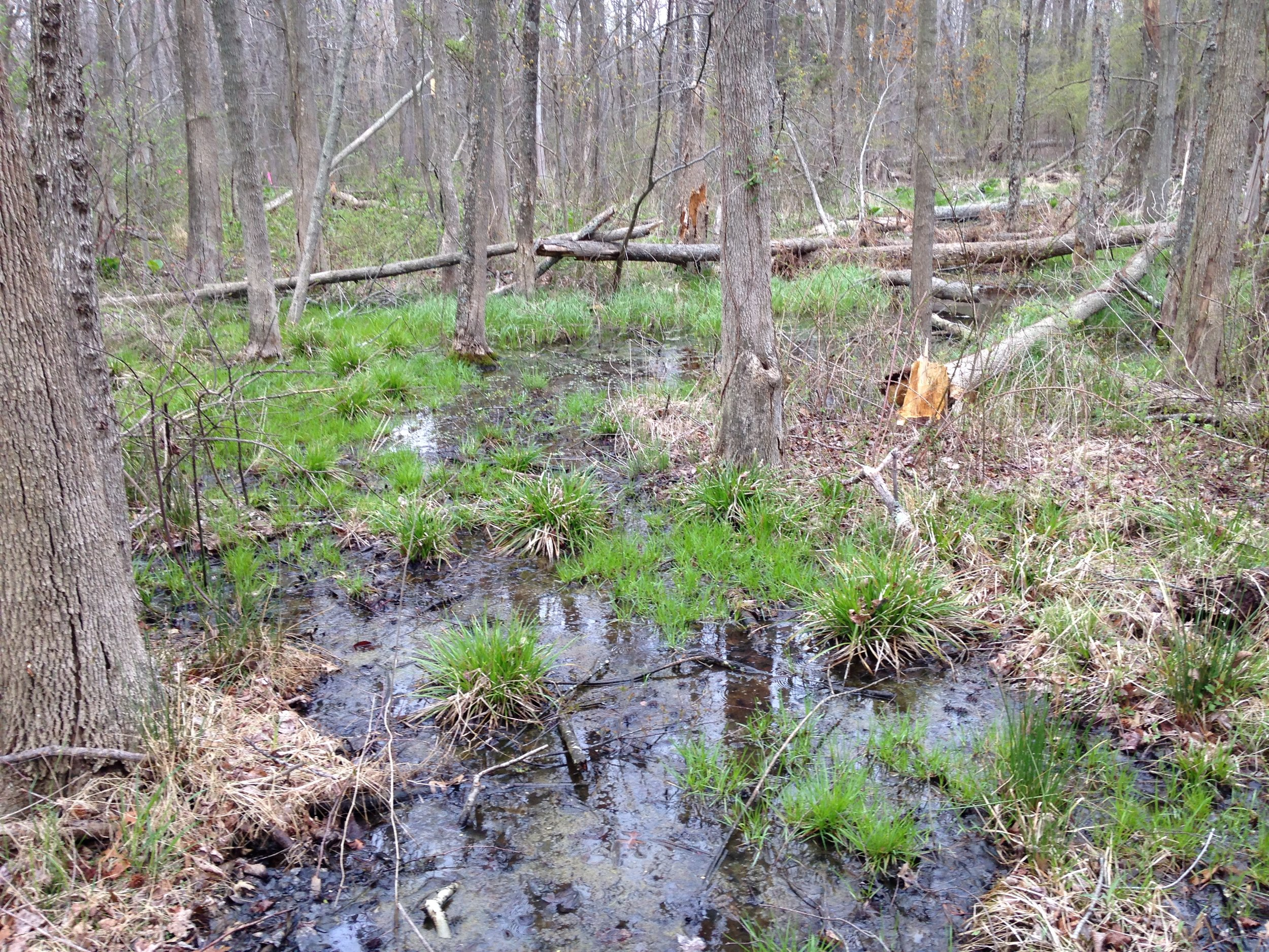 Sedges in a forested wetland, Anne Arundel County, Maryland