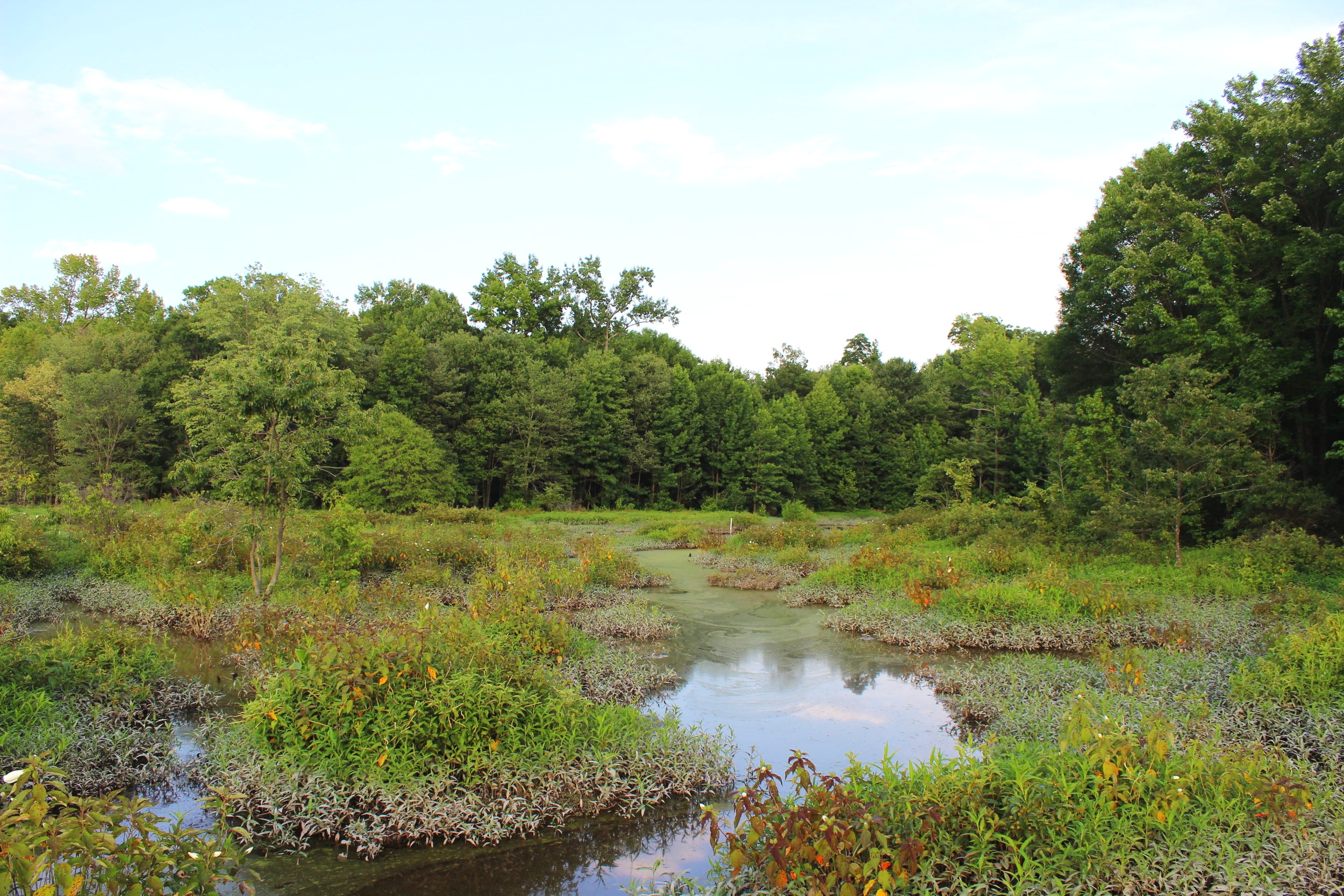 The fluctuating water levels contribute to Huntley Meadows' remarkable animal and plant diversity; note the muddy vegetation that indicates how high water is at times. (click to enlarge)
