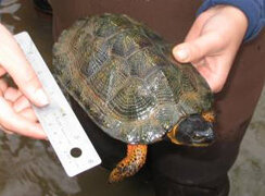 WSSI scientist handling a wood turtle.