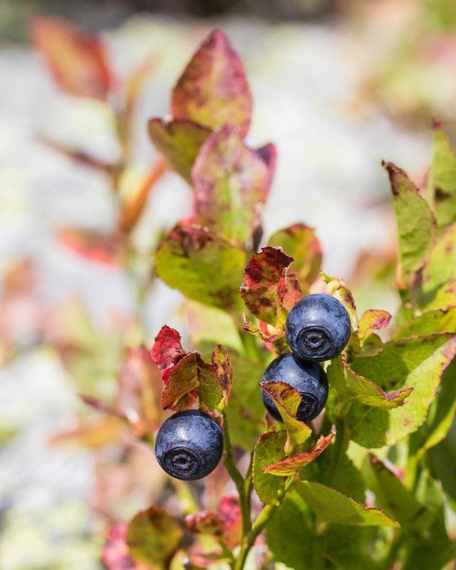 À la cueillette des myrtilles sauvages 👩🏼🌾 Un peu de patience pour satisfaire sa gourmandise 🍃 __ _ Hello wild blueberries ! We had some delicious surprise on this Sunday trek 😽 . . . . . . . #myrtillessauvages #blueberry #wildblueberries #isere #visitisere #fruitsdesaison #localfood #cueillette #cueillettesauvage #visitsavoie #savoie #oisanstourisme #oisans #photographieculinaire #foodstylist #auvergnerhonealpestourisme #isere #eatmoremagic #livemoremagic #pursuepretty #terroir #theartofslowliving #circuitcourt #myrtille #gourmandise #cueillettedujour #gastronomie #slowcuisine