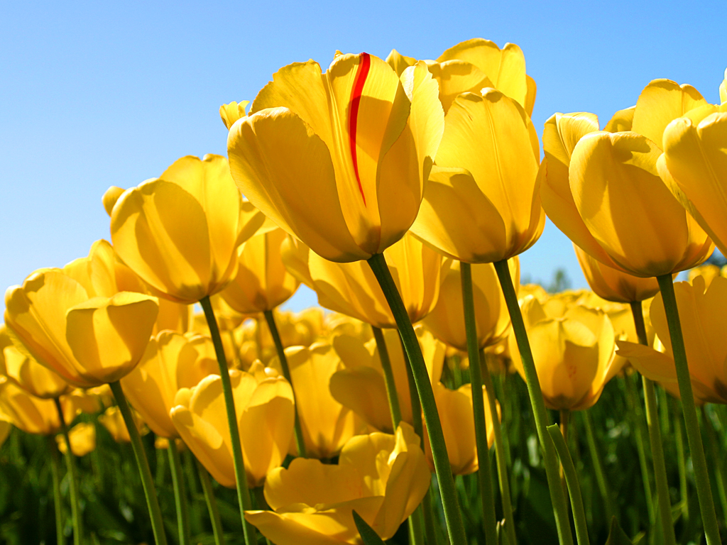 Tulips.jpg