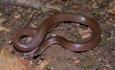 Worm Snake, non-venomous, pencil-sized