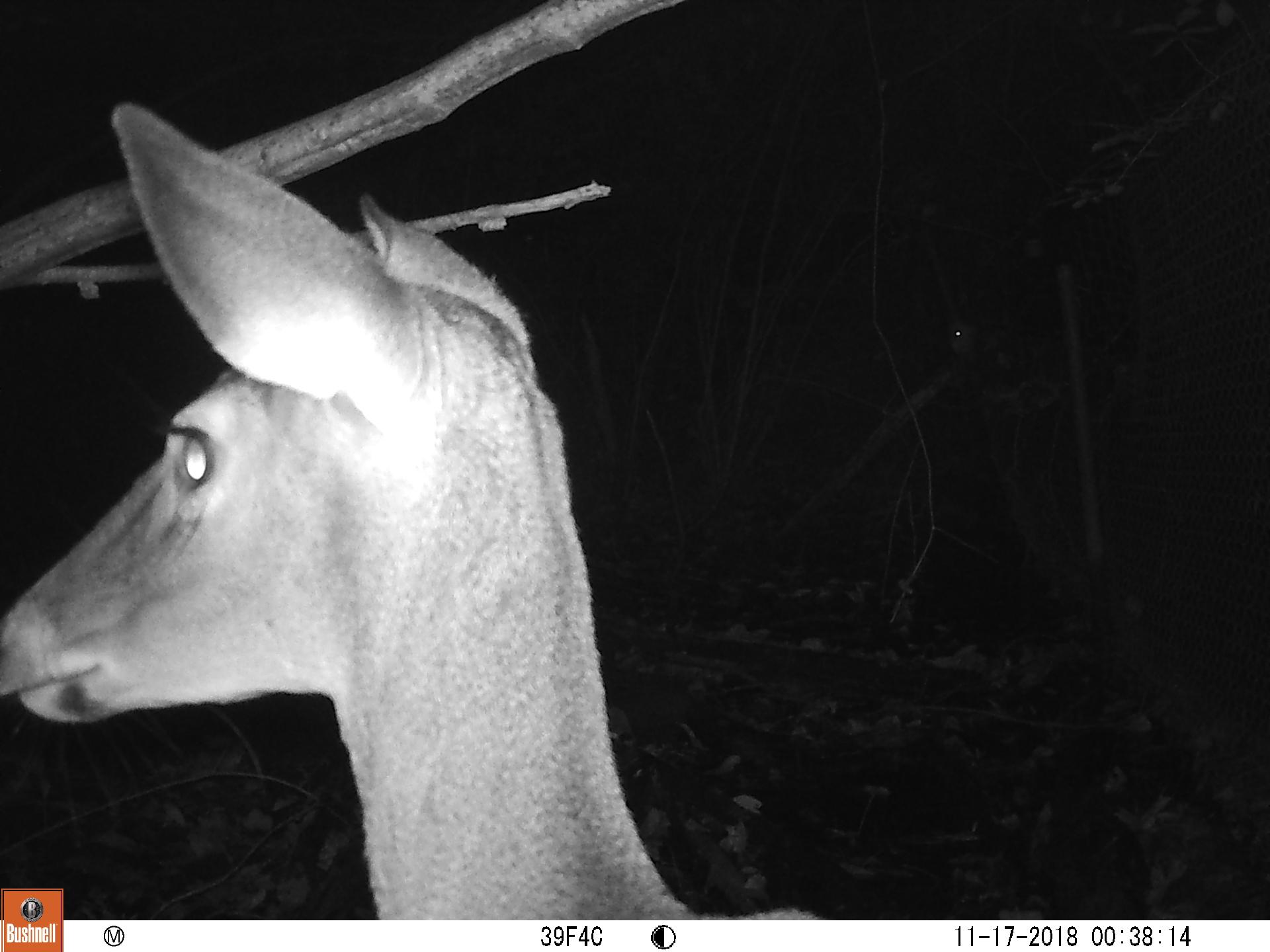 Deer Profile.JPG