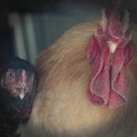 Turkeysong Homestead