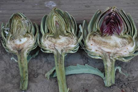 this photo shows three artichokes at different stages of maturity.  The on the left is suitable for canning.  Note the level of development of the hairs, or choke, in all three.