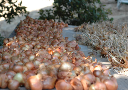 Curing potato onions. Selling  potato onion starts on ebay has been a helpful income boost since fall.