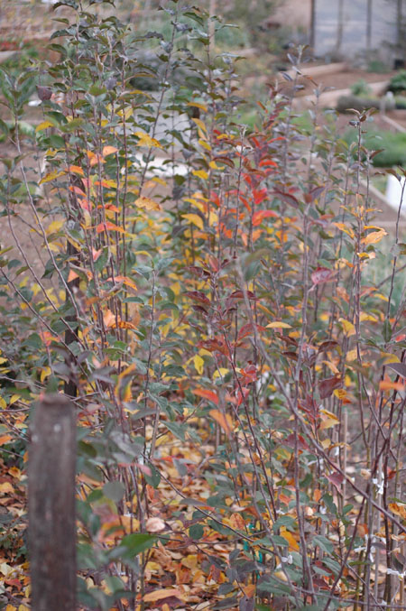 Fall colors in red fleshed apple seedlings. Some clearly show much more red than others.
