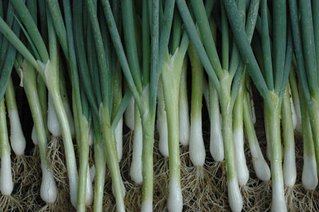 scallions for market, Scallions and carrots are my market mainstays. They hold in the ground for a while, so I don't miss the crop window if I can't make it to the market.