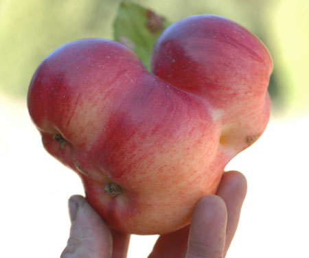 Winterstein.  Allegedly the only apple bred by famous plant breeder Luther Burbank