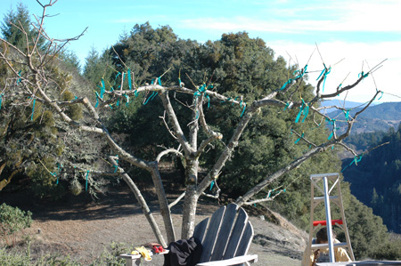 bride of frankentree all grafted up and no place to grow. Note the one branch left to the original variety on the left hand side.