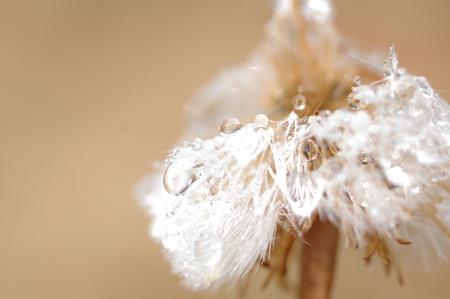 A bedragled dandelion.