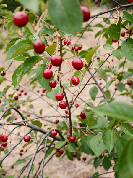 The ever productive and healthy English Morello cherry tree.