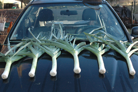 A nice batch of leeks on the way to market.